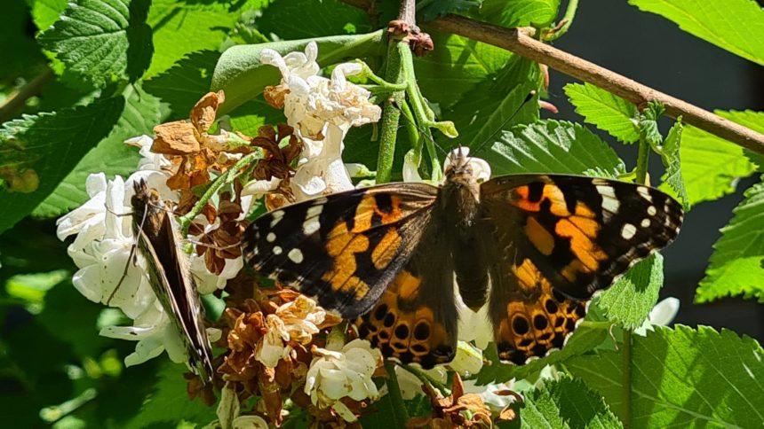 Schmetterlingszucht